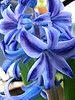 hyacinth blue.jpg