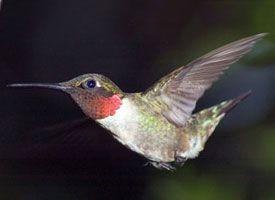 Ruby throated hummingbird glamor