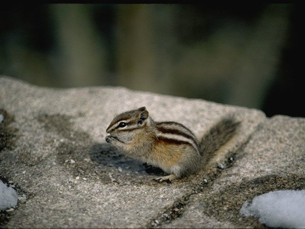 Least chipmunk 1