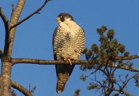 Peregrine falcon glamor