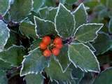 Varigated holly