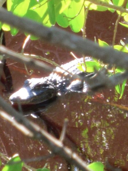 DH Alligator 3