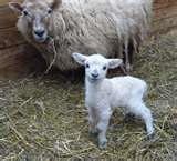Lamb w ewe