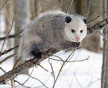 220px Opossum 2
