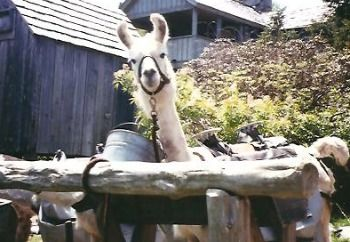 Llamas mount leconte