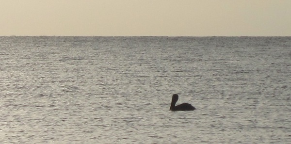 Breakfast pelican