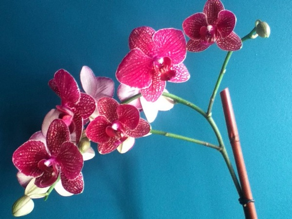 Unretouched orchid