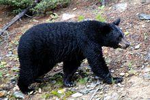 Ursa americanus americanus