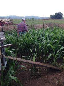 Myron in the tall sorghum searching for hens.