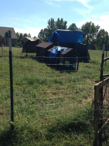 No longer a dog yard, instead a chicken yard.