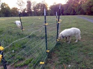Mason sniffing the not-working electric fence.