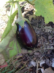 The 1st & only eggplant of the year!